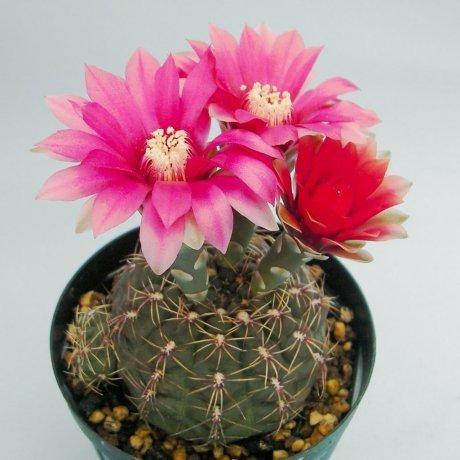 Sany0115--baldianum--JPR 95-179-550--El Alto Catamarca--Jecminek seed A-2483-N