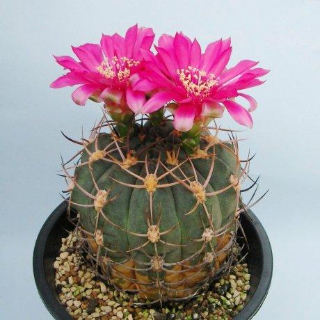 Sany0208-carminanthum--ZJ 115--Mesa seed460.25