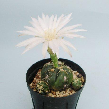 Sany0020--denudatum ssp angulatum--GF 304--Dom Pedrito R G d Sul--Piltz seed 3423