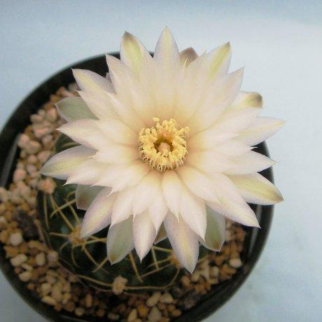 Sany0154--denudatum ssp angulatum--GF 304--pIltz seed 3423