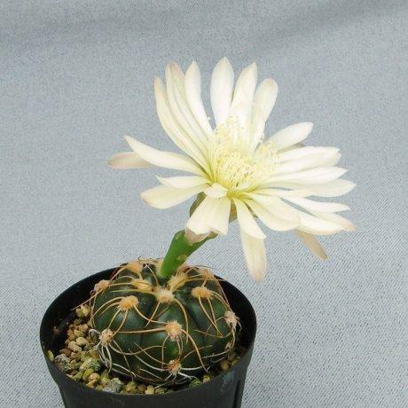 Sany0147--denudatum ssp angulatum--MM 418--Piltz seed 4604--Milena