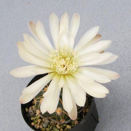 Sany0148--denudatum ssp angulatum--MM 418--Piltz seed 4604