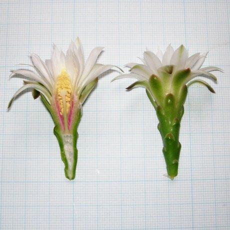 Sany0094--denudatum ssp angulatum--GF 304--Piltz seed 3423