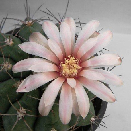 Sany0169--mostii v miradorense--LB 975--Mesa seed