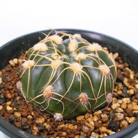 Sany0192--denudatum ssp angulatum--MM 418-Piltz seed 4604