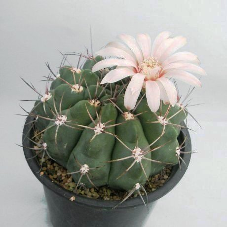 Sany0167--nostii v miradorense--LB 975--Mesa seed 475.3--ex TaS