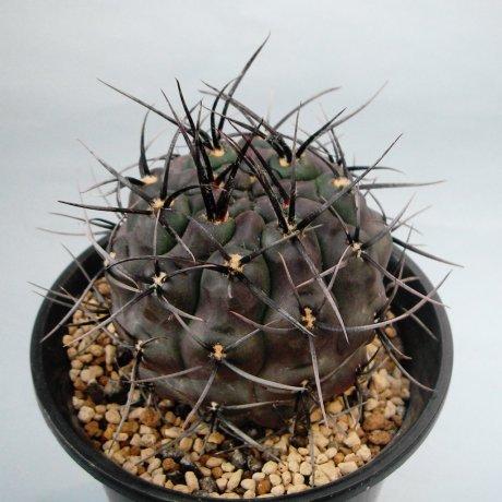 Sany0207--striglianum--Koehres seed-ex Kousen en
