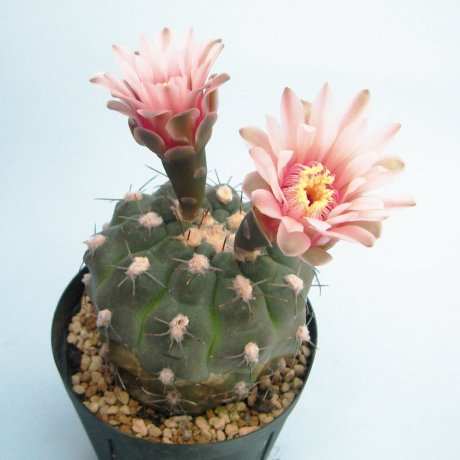 Sany0176--alboareolatum--P 221--Koehres seed