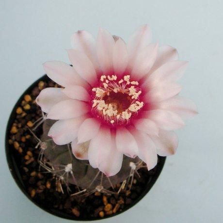 Sany0113--alboareolatum--LB 1296--Piltz seed 3164
