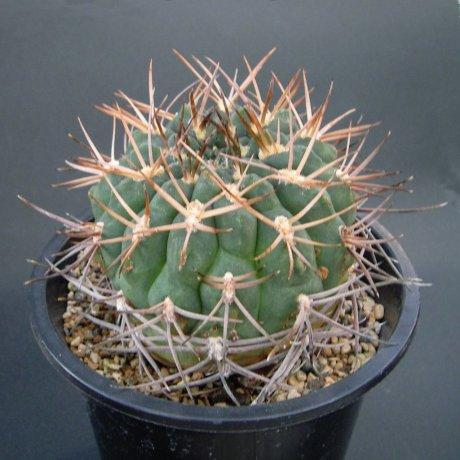 Sany0197--catamarcense ssp acinacispinum--STO 45--ex Milena