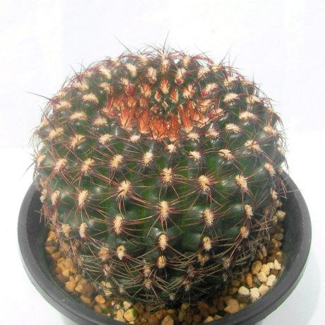 Sany0160--mesopotamicum--Piltz seed--ex Houmei en