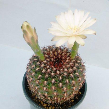 Sany0078--mesopotamicum--Piltz seed -exHoumeien