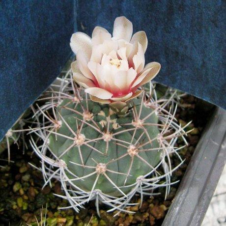 Sany0165-G. acorrugatum-STO 901--Chucuma--Eden 15271