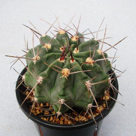Sany0199-G. bicolor--valnicekianum--B 44A-San Pedro, Cordoba, 700m--Eden 14987