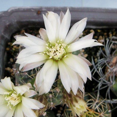 Sany0199--schroedrianum ssp bayense--WP 92-112-149--Eden 15092