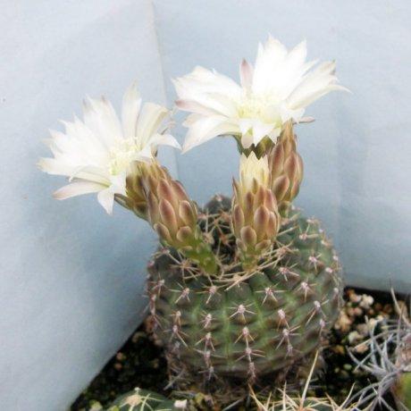 Sany0196--schroedrianum ssp bayense--WP 92-112-149-- Olavarria Sierra Baya Buenos Aires Arg 180m--ex Eden 15092