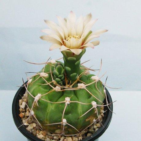 Sany0156--sigelianum--koehres seed--ex Kouse en