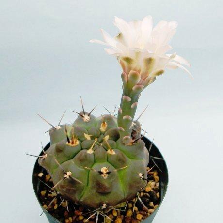 Sany0095--borthii ssp kokori--JPR 89-204--Zanjitas SL--ex Eden 16149