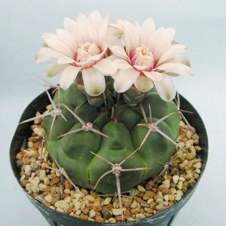 Sany0111--prochazkianum simplex --Tom 07-265-1--Cerro Horqueta Orcosumi --ex Milena