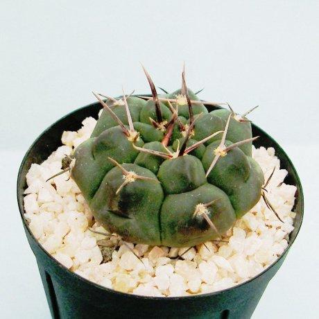 Sany0073--prochazkianum--VoS 05-150--north of Dean Funes Cordoba--Bercht seed (2007)