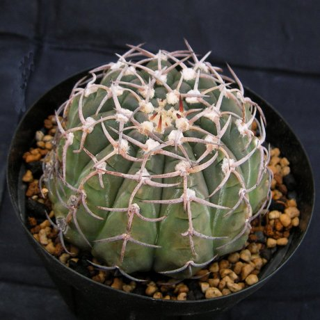 Sany0166--triacanthum--P 124--Piltz seed 4264--Sakai-Kobayashi