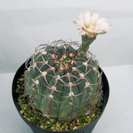 Sany0204a--triacanthum--P 124--Piltz seed --ex Sakai