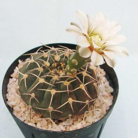 Sany0064a--riojense ssp paucispinum v triacanthum--JO 134--Los Ramblones 600 m--Bercht seed