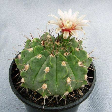 Sany0039--mostii--STO 002--Santa Catalina Cordoba--Piltz seed 3231--ex Milena