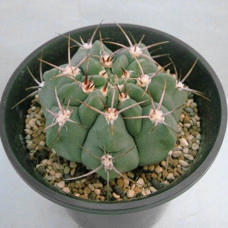 Sany0209--mostii--LB 1069--East of La Falda Cordoba 1210m--Bercht seed