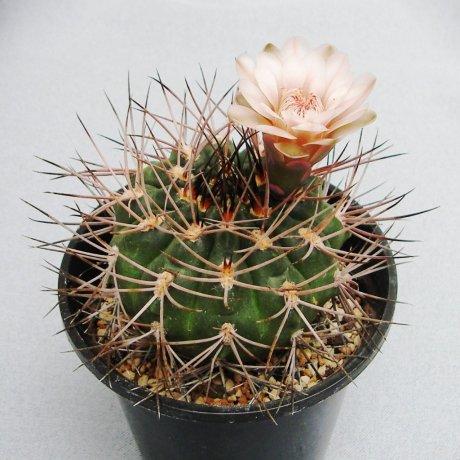 Sany0181-G. castellanosii v. armillatum-P 217 --Ulapes LR 500m-Eden 12714-