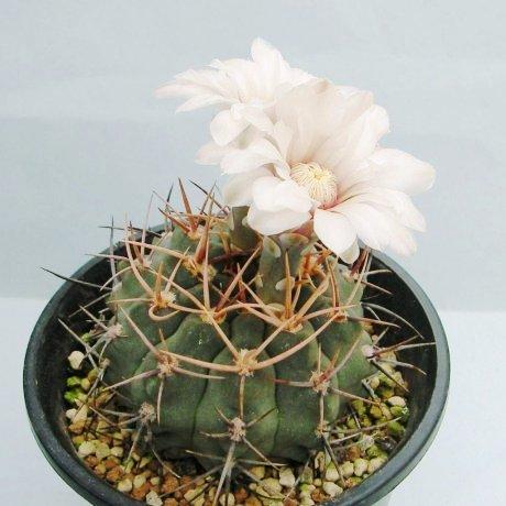 Sany0049--castellanosii v armillatum--VS 15--Ulapes LR 600m--Mesa seed 460.78