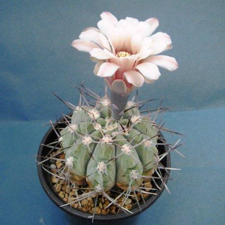 Sany0190--mucidum--glaucum--P 36A--Piltz seed