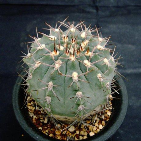 Sany0074-G. mucidum v ferrari--Santa Teresita--LR--piltz seed 3543