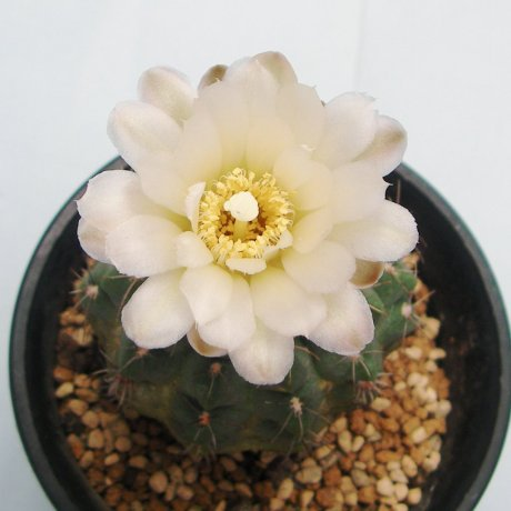 Sany0090--uebelmannianum--WR 141--koehres seed