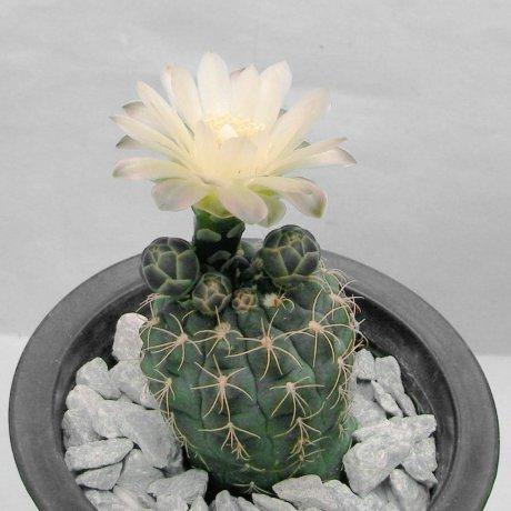 Sany0062--uehbelmannianum--Piltz seed 1461