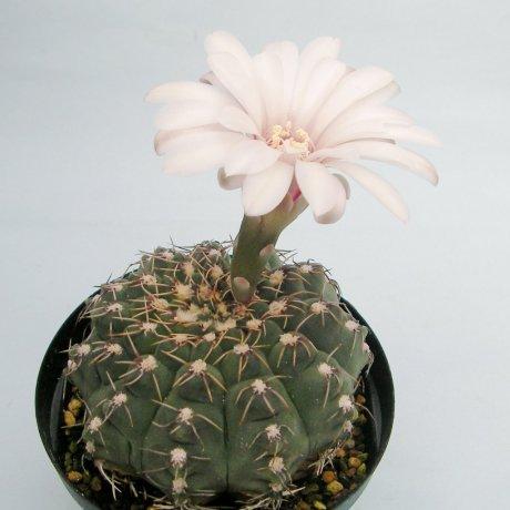 Sany0013--stellatum--STO 418--Santa Rosa de Calamuchita Cordoba--Succseed seed--ex Milena