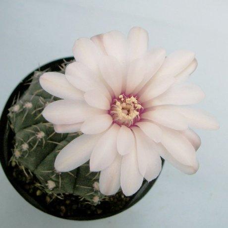 Sany0015--stellatum--STO 418--Succseed seed