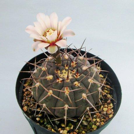 Sany0144--riojense v pipanacoense--LB 1269--Mesa seed 484.65--ex Milena