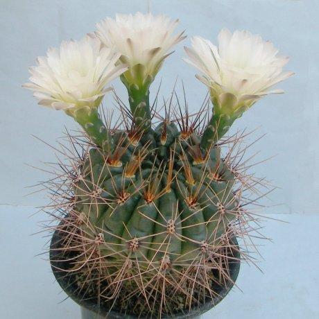 Sany0025--gibbosum v pluricostatum--Rowland seed