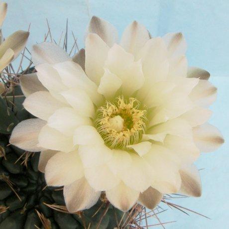Sany0027--gibbosum v pluricostatum--Rowland seed