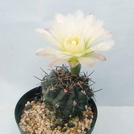 Sany0104--gibbosum ssp ferdinandii--JPR 51-55--Piltz seed 5056--ex Milena
