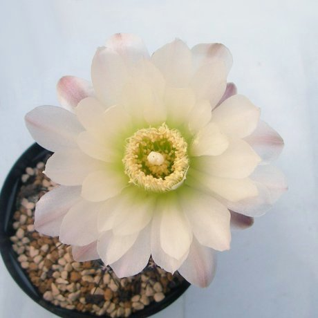 Sany0106--gibbosum ssp ferdinandii--JPR 51-55--