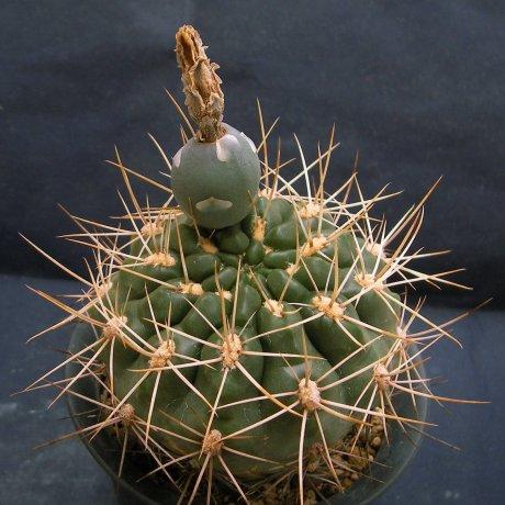 Sany0142-paraguayense v wagnerianum-mesa479 -35