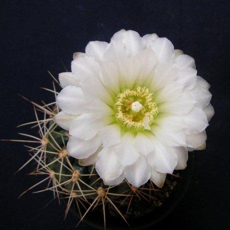 Sany0171-paraguayense v wagnerianum-mesa479-35-plant