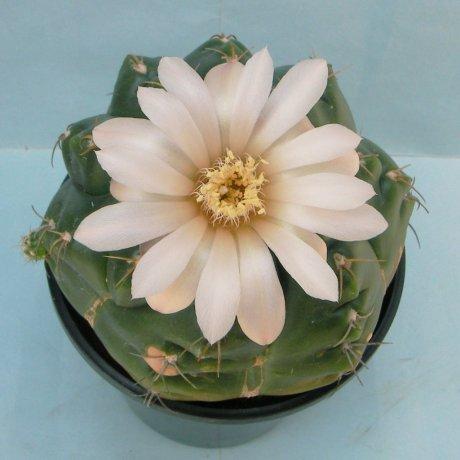 Sany0072--paraguayense--ex Moser K.--Piltz seed