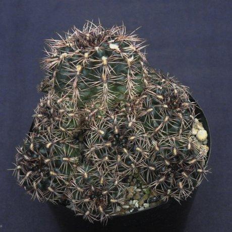 mesopotamicum-mesa-470-2.jpg