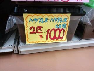 ヘラクレス1000円