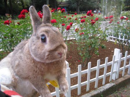 バラ、まだ咲いているね♪