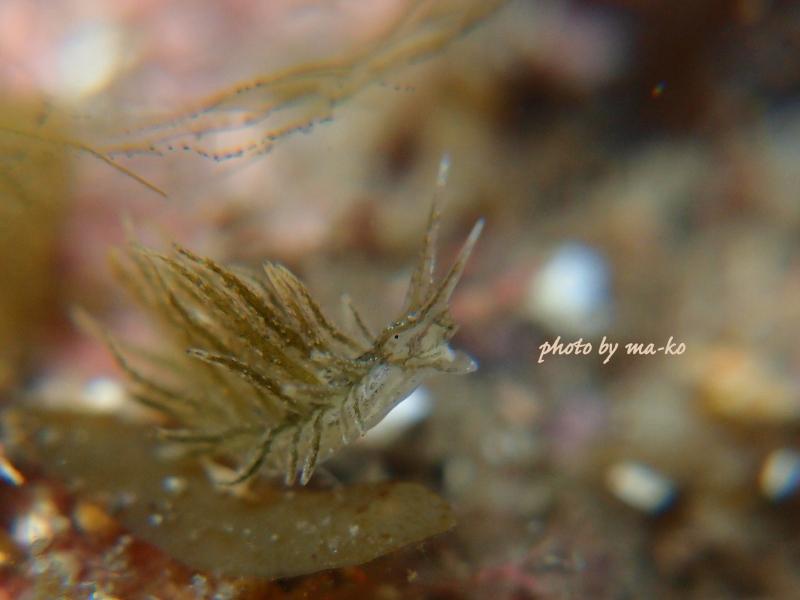f8月17日1本目ウスミドリモウミウシ
