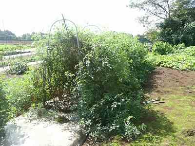 まだまだゴワゴワしているソバージュ栽培ミニトマト(9月中旬)